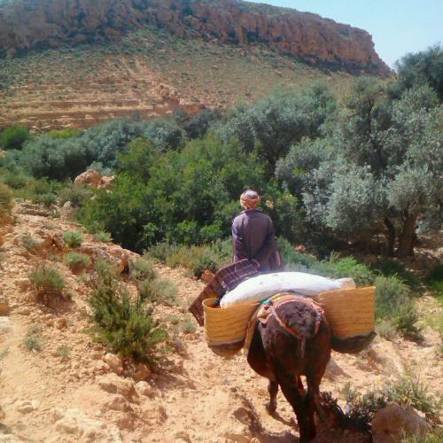 récolte olives gite de douiret